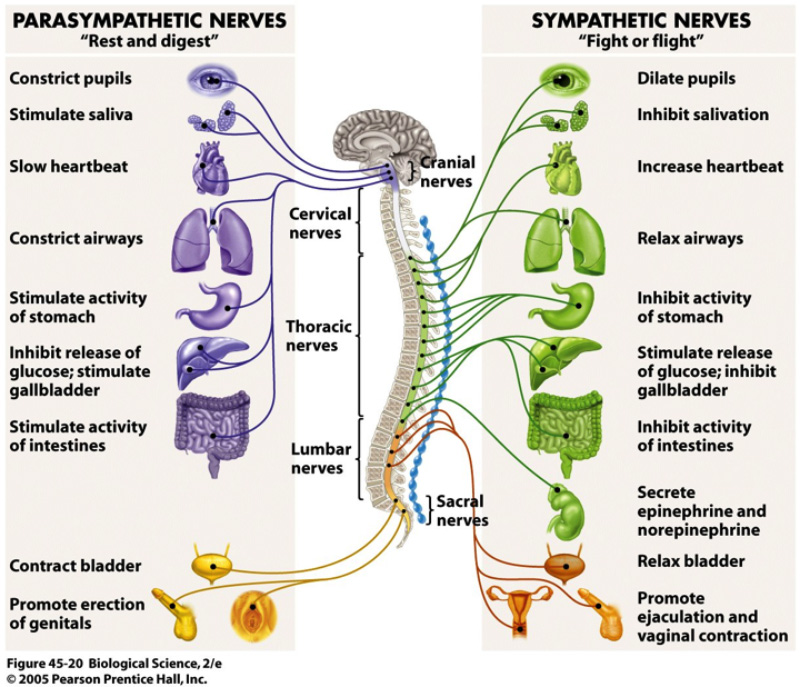 Parasympathetic and Sympathetic Nerves