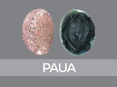 paua-species-id