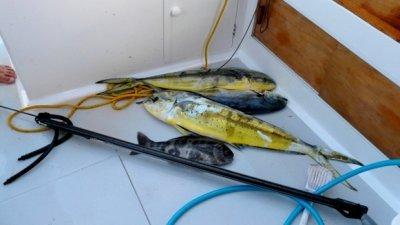 mahi_mahi_spearfishing.JPG