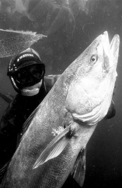White_Sea_Bass_Spearfishing.jpg
