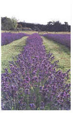 Lavender Impressions