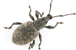 Stem Weevil