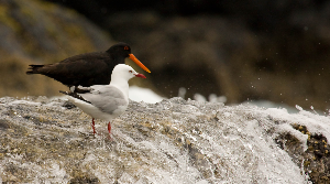 Oystercatcher and red bill gull