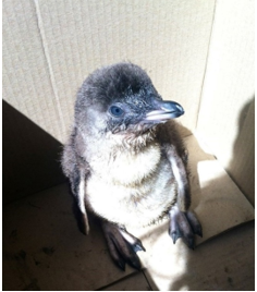 Skinny penguin chick