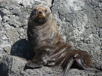 New Zealand fur seals - Pohatu penguins