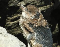 Penguin moulting