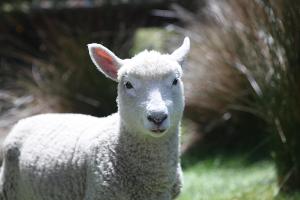 Perandale lamb