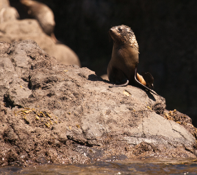 New Zealand fur seal pup - Pohatu penguins