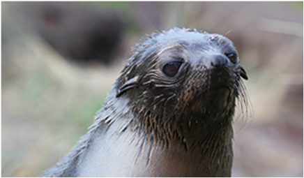 New Zealand fur seals covered in oil-907
