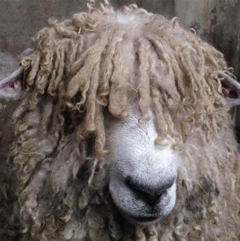 Long wool Lincoln sheep