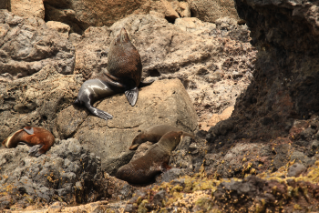 fur seals male and his harem - Pohatu penguins
