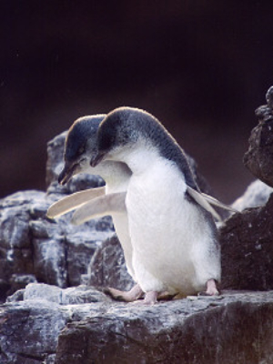 litte-penguins-bonding-346