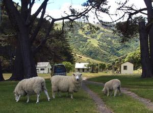 sheepaccomcropped S