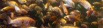 Aquaculture crop