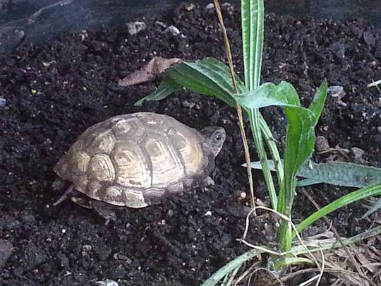 Three Toed Tortoise - CURRENTLY UNAVAILABLE