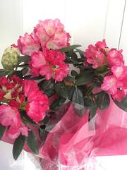 Gift wrapped Rhodo