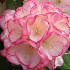 Rhododendron Manda Sue