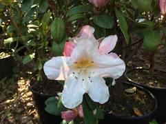 Rhododendron Dendricola $45