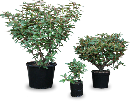 Clear Cut Plants - Rhodo Direct
