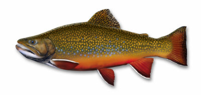 Brook trout  400