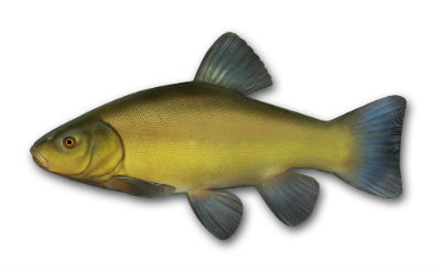Tench small
