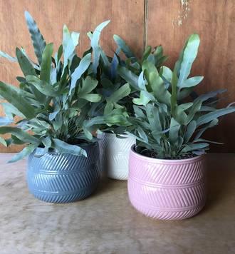 Blue Star Fern In a Ceramic Pot
