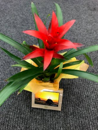 Bromeliad & Chocolates