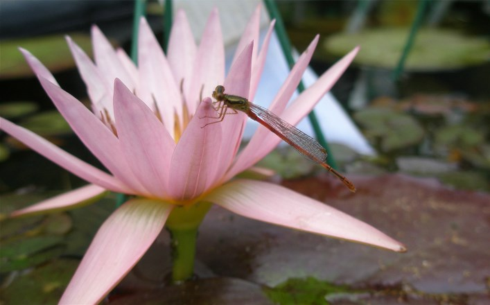 Water lilies and aquatic plants for a stunning water gardens