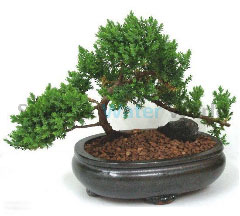 PBON Bonsai Tree-58