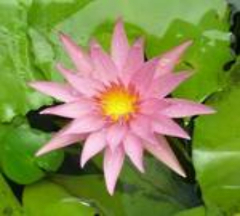 aplilt aquatic water pond plant tropical nymphaea water lily1-428-884