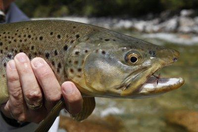 Dry Fly fish