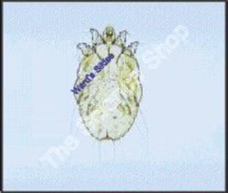 Sarcoptes Scabiei (wm) Itch mite