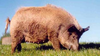 Pig-92