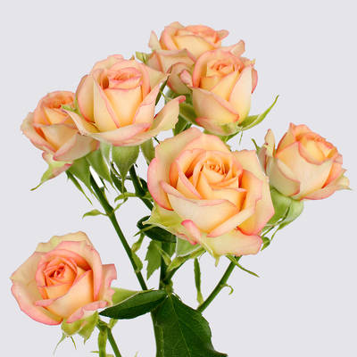 Azore Spray Rose Plant