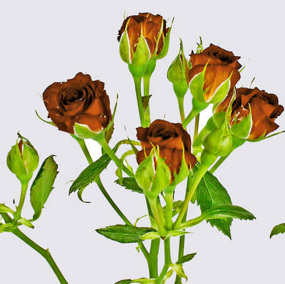 Chococcino Spray Rose Plant