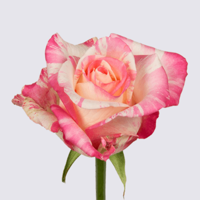 4U+ Rose Plant