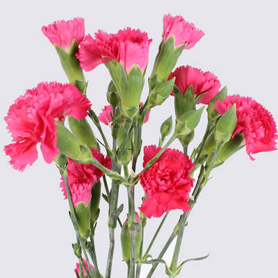 Barbara Carnation Plant