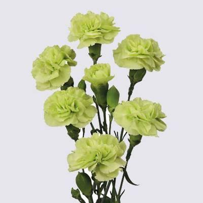 Cato Carnation Plant