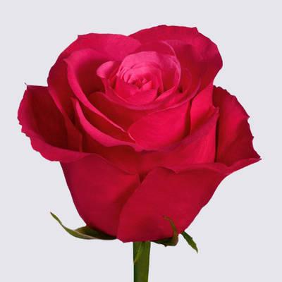Cherry-O! Rose Plant