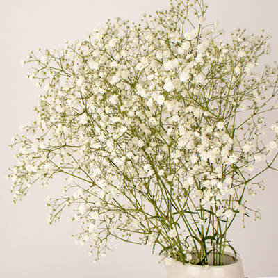 Cosmic White Gypsophila