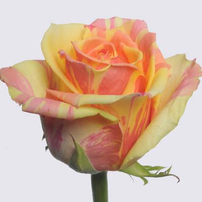 Fiesta+ Rose Plant