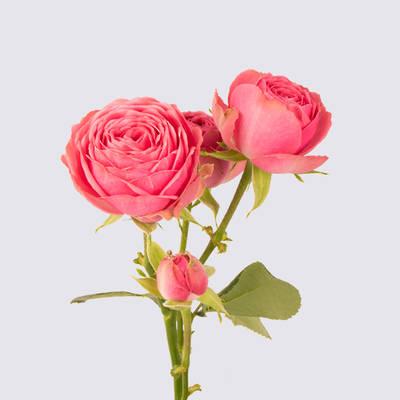 Giselle Spray Rose