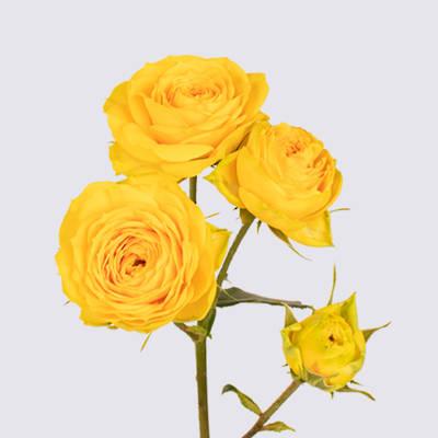 Golden Trendsetter Spray Rose