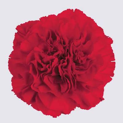 Grand Slam Carnation Plant