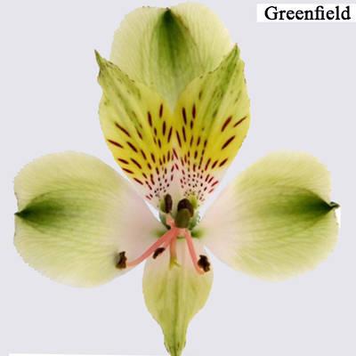 Green Alstroemeria