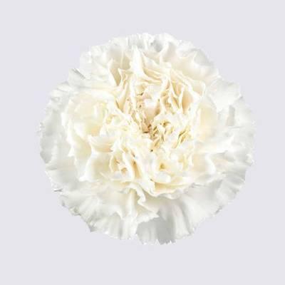 Gwen Carnation Plant