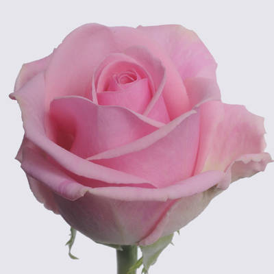 Heaven! Rose Plant