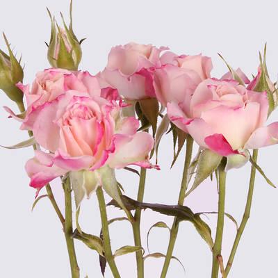 Jessica Spray Rose Plant