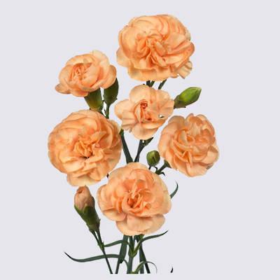 Kamilly Carnation Plant