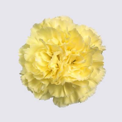 Liberty Carnation Plant